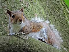 Squirrel (PhotoLoonie) Tags: squirrel greysquirrel britishwildlife wildlife wildanimal ukwildlife britishwildanimal animal ukanimal