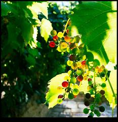 160830-0673-XM1.jpg (hopeless128) Tags: france eurotrip 2016 grapes grapevine nanteuilenvalle poitoucharentes fr