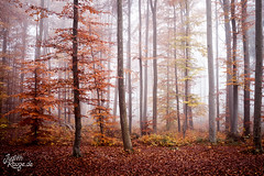 Golden Autumn (judithrouge) Tags: autumn herbst golden orange rot red gold forest wood wald bäume trees fall mist misty fog foggy foliage color colour farbe