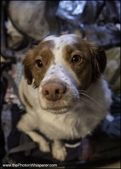 """43-52 """"I am coming with you, right?' (Dave (www.thePhotonWhisperer.com)) Tags: 52weeksfordogs 52weeksforeva brittanyspaniel brittany suit case travel dog sad"""