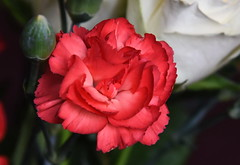 DSC_3215 (PeaTJay) Tags: nikond750 reading lowerearley berkshire macro micro closeups gardens indoors nature flora fauna plants flowers rose roses rosebuds carnations