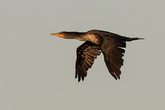 Double-crested Cormorant (J.B. Churchill) Tags: birds dcco gannetspelicansandcormorants maryland places sunsetpark taxonomy worcester oceancity unitedstates us