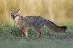 Gray Fox (toryjk) Tags: grayfox fox wildfox wildgrayfox nature wildlife bayarea urocyoncinereoargenteus morning california californiawildlife native