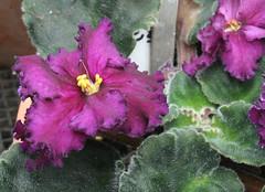11-IMG_4726 (hemingwayfoto) Tags: berggartenhannover blhen blte blume flora floristik macro natur topfpflanze usambara usambaraveilchenlyonsnightowl veilchen zierpflanze zuchtform