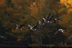 Canadian fall !! (Photography by Ramin) Tags: canadian fall geese flight beauty beautyoffeather ottawa wildbirds wildlife