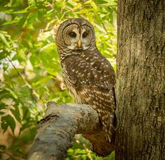 Barred Owl (NA birds by Carol) Tags: barred owl