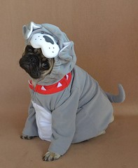 Boo The Bulldog Pug (DaPuglet) Tags: pug bulldog pugs dog dogs pet pets animal animals puppy puppies costume halloween cute