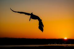 Fishing at sunrise (cbjphoto) Tags: bolsachica brown carljackson ecological pelecanusoccidentalis pelican photography reserve avian bird inflight