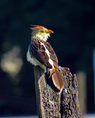 El pirincho. (jagar41_ Juan Antonio) Tags: animales aves animal ave pirincho