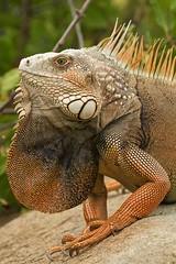 InVaSiVe (Tè Bwa Dlô) Tags: antilles antillean caraïbe caribbean frenchwestindies indies nature natural wild wildlife westindies iguana americana lezard reptils st martin invasive