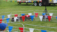 porter county fair. july 2015 (timp37) Tags: porter county fair 3 number pig race indiana summer july 2015 4 2