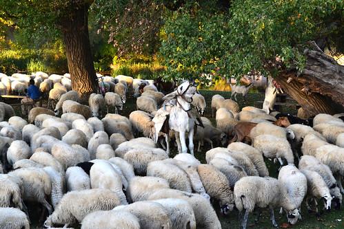 Más ovejas churras con cabras y burro.
