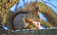 - What do you think about this food? Is this edible??? (L.Lahtinen (nature photography)) Tags: squirrel redsquirrel squirrelonthetree squirrelinwinter snow cold apple nature nikond3200 nikkor 55300mm november frost finland suomi flickr hungrysquirrel cute adorable söpö suloinen orava kurre eläin fauna wildlife wild pretty luonto lunta lumi winterweather larissadatsha fellow bokeh funnysquirrel furry naturephotography europe