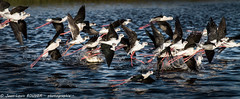 _MG_7169 LR flickr.jpg (Jean Louis BOUYER photographie) Tags: oiseaux échasse blanche échasseblanche