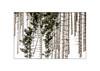 Asiago 6 (Nicola Tracanzan) Tags: asiago trees winter snow altopiano