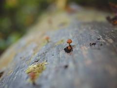 Mushroom kingdom 11 (Vincent F Tsai) Tags: mushroom fungus fungi cute tiny log tree nature forest woods mountain hike bokeh dof bokehlicious panasonic leicadgsummilux25mmf14 lumixgx8