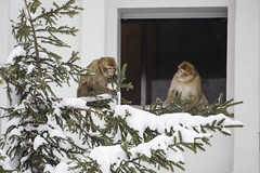 The new Barbary macaques getting familiar with the first snow (Korkeasaaren elintarha) Tags: korkeasaarenelintarha elintarha korkeasaari hgholmensdjurgrd djurgrd helsinkizoo hgholmen zoo animals zooanimals berberiapina barbarymacaque macacasylvanus