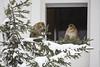 The new Barbary macaques getting familiar with the first snow (Korkeasaaren eläintarha) Tags: korkeasaareneläintarha eläintarha korkeasaari högholmensdjurgård djurgård helsinkizoo högholmen zoo animals zooanimals berberiapina barbarymacaque macacasylvanus