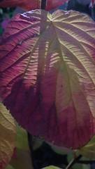 Fall Multi-Color on Lit, Textured Hobblebush Leaf :>) IMGP6673 (catchesthelight) Tags: fallfoliage hobblebush moosbush multicolored red orange yellow green purple bluesky trees leaves autumn colors colorful fall harvest fightcabinfever florashow newengland newhampshire leafpeeping moosebush 2setsofleaves viburnumalnifolium texture wings plant autumncolors witchhobble shrubs viburnumlantanoides nh native