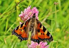 Schmetterling (Hugo von Schreck) Tags: hugovonschreck schmetterling butterfly fuchs falter macro makro insect insekt outdoor canoneos5dsr tamron28300mmf3563divcpzda010