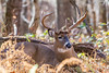 12 Point Keeping Watch (Jon Wittman Photography) Tags: f563 shenandoahvalleyskylinedrive cameras shenandoahnationalpark seasons rut virginia bigma 150500mm jonwittmanphotography jpwphotography places lr apo nikon lens 12point fall whitetaildeer dx trees national outdoor d7100 buck os scenic skylinedrive software sigma hsm wildlife lightroom animals