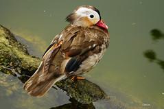 MANDARINA DUCK (C@RLOS.R) Tags: patos anades duks crlos pontevedra galicia aves acuaticas