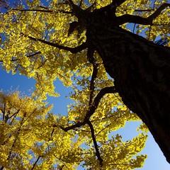 Fall color, yellow ginkgo (usotuki) Tags: 横浜 葉 紅葉 もみじ 銀杏 イチョウ nature maple ginkgo autumnleaves autumncolors ricoh grⅱ