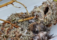 Bushtit Nest (Delta Naturalists Casual Birding) Tags: starrynight deas dncb