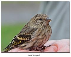 Tarin des pins / Pine Siskin IMG_5936 (salmo52) Tags: oiseaux birds salmo52 alaincharette tarindespins pinesiskin carduelis pinusbonaventurebaie des chaleurs fringillids fringillidae