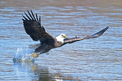 Bald Eagle (Brian E Kushner) Tags: american baldeagle bald eagle fish fishing raptor wings talon beak king flying flight inflight haliaeetusleucocephalus conowingo dam conowingodam darlington md maryland d5 nikond5 bird birds bkushner wildlife animals birdwatcher brianekushner nikonafsnikkor800mmf56efledvrlens nikon afs nikkor 800mm f56e fl ed vr lens tc800125e tc800125eed grab