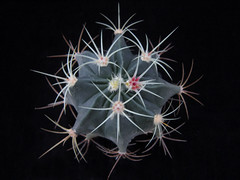 Ferocactus emoryi (juan_y_ana) Tags: ferocactus emoryi