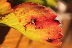 Couleurs du monde (antoinebouyer) Tags: couleur rouge feuille
