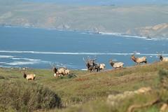 Herd of elk (rudydlc81) Tags: tuleelk antlers california coast wildlife nature herd pointreyes