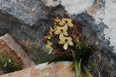 Butterfly Lily (jmonhof) Tags: sdafrika silvermine kap cape pflanzen plants flower blumen flora
