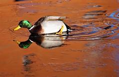 A struggle (dlanor smada) Tags: mallards ducks ice reflections aylesbury grandunion