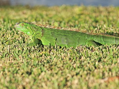 Green Iguana 20161129 (Kenneth Cole Schneider) Tags: florida miramar backyard