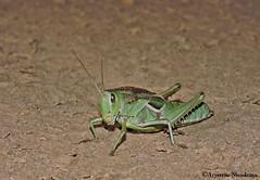 Gafanhoto Orthoptera (Acrididae) (Arystene Nicodemo) Tags: acrididae orthoptera gafanhoto insect inseto faunacerrado