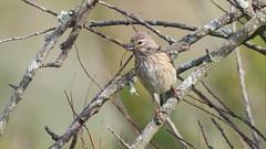Linotte mlodieuse, Af (R, 2014-05-04_32) (th_franc) Tags: oiseau linottemlodieuse
