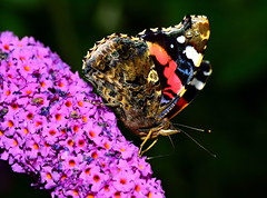 136/365 Admiral (images@twiston) Tags: red flower macro eye tongue closeup butterfly insect compound purple buddleia depthoffield micro nectar 365 admiral vanessaatalanta