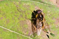 Cheilosia canicularis / Laat Hoefbladgitje (peter.lindenburg) Tags: hoverfly noordwijk syrphidae zweefvlieg cheilosiacanicularis laathoefbladgitje