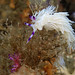 Can I eat that? Blue dragon nudibranch
