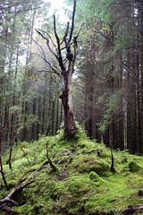 Ghost Tree on a rainy day in Dalavich Scotland (Dave Russell (1.5 million views thanks)) Tags: scot wild traveller travel ghost amazing vista view scene light outdoor ecosse scenery landscape nature dalavich scotland tree forrest forest rain raining color colour colors colours erie loch awe