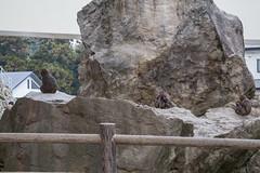 Takasakiyama Monkey Park, Oita, Kyushu, Japan 高崎山モンキーパーク (silkylemur) Tags: mountain japan monkey macaco fullframe canoneos animalia mammalia saru oita さる kyushu primates サル 6d snowmonkey 九州 japanesemacaque monkeypark takasakiyama japanesemonkey 猿 macaca chordata mounttakasaki macacafuscata キャノン cercopithecidae ニホンザル efmount nihonzaru マカク属 canon6d oitaprefecture 일본원숭이 японский サル目 canoneos6d ãã£ãã³ 哺乳綱 macacojaponés macacogiapponese macacodecararoja オナガザル科 макак ホンドザル японскиймакак ลิงกังญี่ปุ่น khỉnhậtbản キャノンレンズ efマウント efマウントレンズ キヤノンeos6d efãã¦ã³ã efãã¦ã³ãã¬ã³ãº ãã£ãã³ã¬ã³ãº ãã¤ãã³eos6d مكاكيابانيמקוקיפני