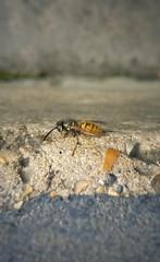 #wasp #closeup #step #stone #insect #lg #g4 (foxfoxfoxfoxfoxfoxfox) Tags: stone closeup insect g4 wasp lg step