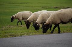 DSC03577 (majolie46) Tags: sheep dunes meadows moutons préssalés herbus saltmeadows