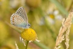 DSC_0723 Icarusblauwtje, Polyommatus icarus, Common Blue Argus bleu Hauhechelbläuling