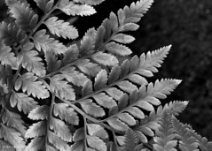 (Analog_Photographer) Tags: blackandwhite plant fern texture film leaves closeup analog 4x5 largeformat yellowfilter viewcamera macrolens ilforddelta100 negativefilm printfilm sheetfilm finedetail cambosc wratten8 75aspectratio processlens monorailcamera northcoastphotographicservices fujinona plasmatlens n1development epsonv850 negativeexpansion