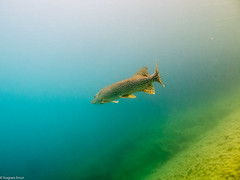 ASM Plonge, Brochet, Gravire du Fort - Site, Site 9699.jpg (hgh68) Tags: site animaux plonge poissons themes brochet graviredufort asmplonge