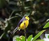 Myioborus torquatus / Collared Redstart (LeShello) Tags: myioborustorquatus costarica coronado collaredredstart