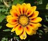 Gazania Flower (rustyruth1959) Tags: flower yellow petals nikon snail greece bloom gazania nikond3200 sporades skaithos masterphotos